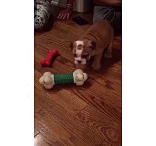 Tiny Bulldog puppy playing with huge bone
