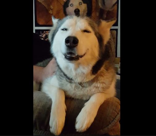 Try not to laugh at this smiling husky!
