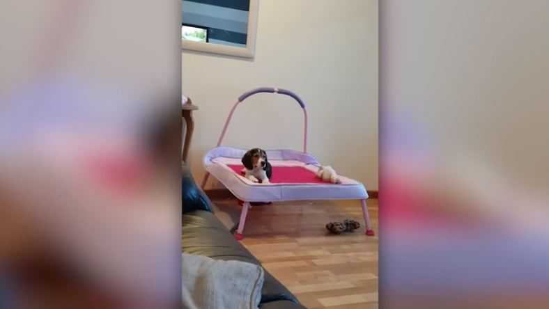 Cute dog watches cartoon on a trampoline