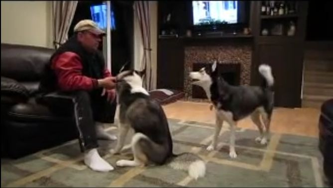 Huskies become extremely jealous when the other gets attention