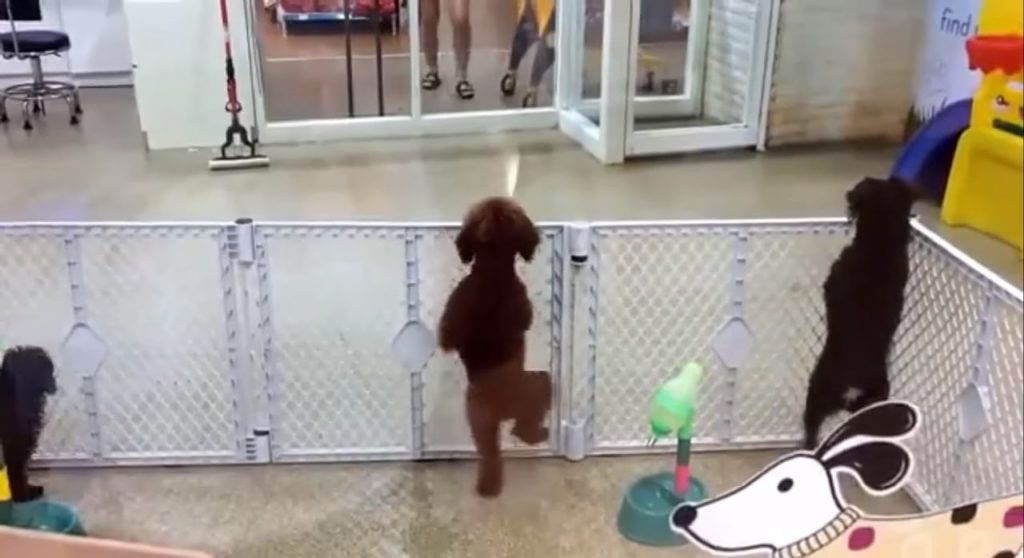 Puppy In Day Care Center Sits Silently, Does Hilarious Latin Dance When He Sees Owner