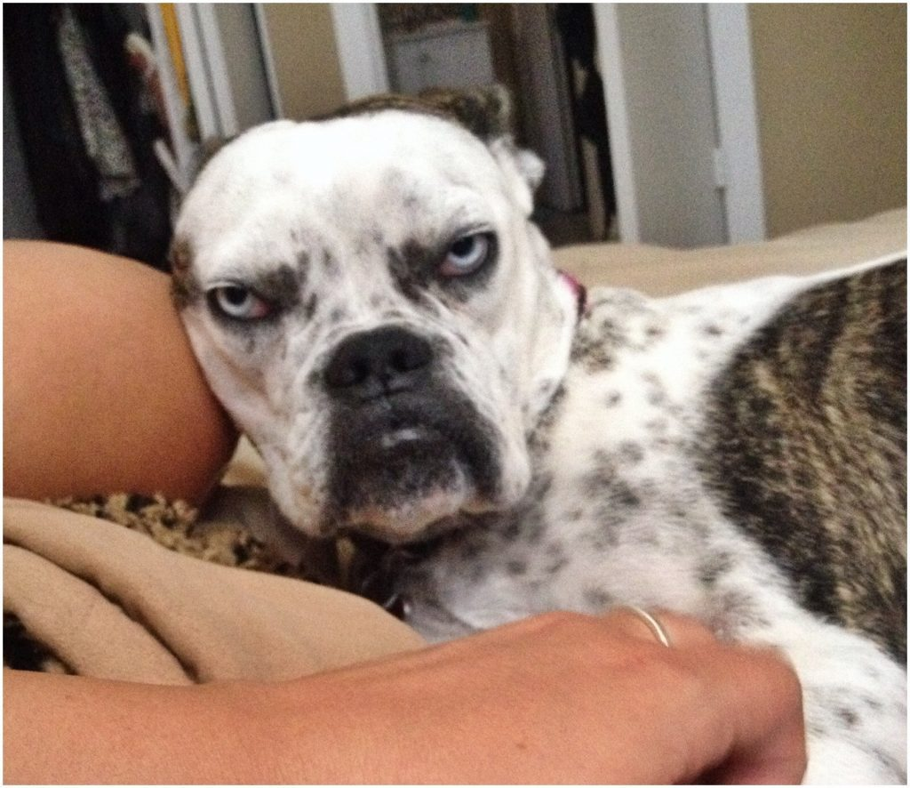 Dogs Who Put Grumpy Cat To Shame With Their Hilarious Grumpiness