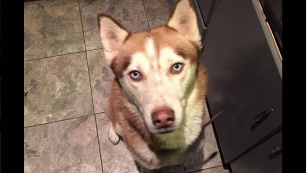 New Mexico Husky Missing A Year Found in Kansas City!