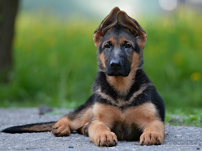 Photos That Prove German Shepherds Are Too Majestic For This World
