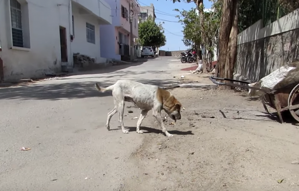 Rescuers Find Disoriented Dog Wandering The Streets With A Swollen Head