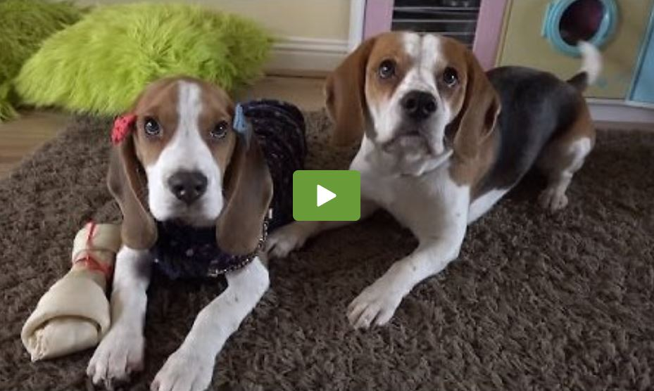 Cute dog shares bone with a puppy | Charlie The Beagle