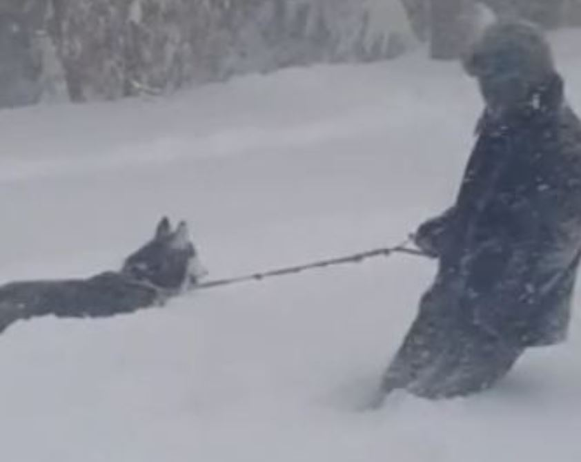Husky Knows Exactly What To Do When Owner Falls Down During Blizzard