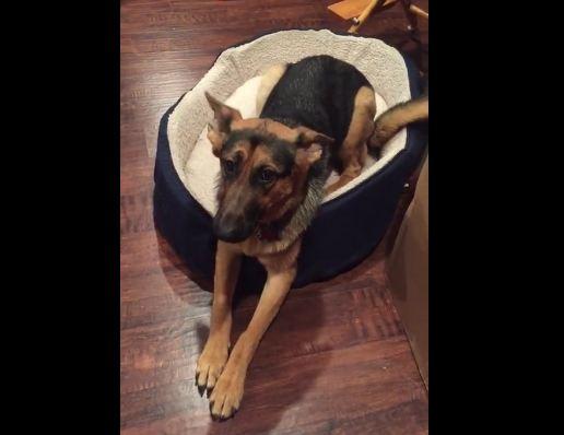 Guilty German Shepherd Pooch Cannot Hide Her Shame