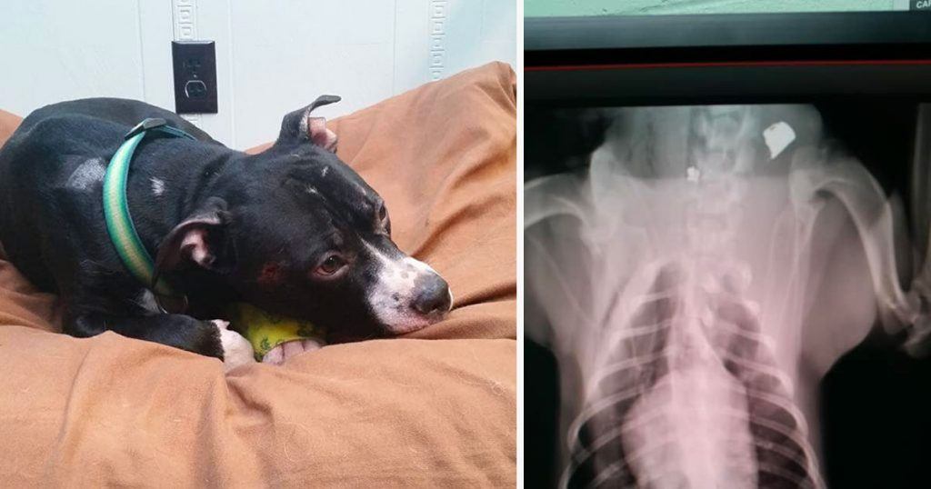 Dog Makes Miracle Recovery After Being Shot In the Head and Thrown into Snowbank