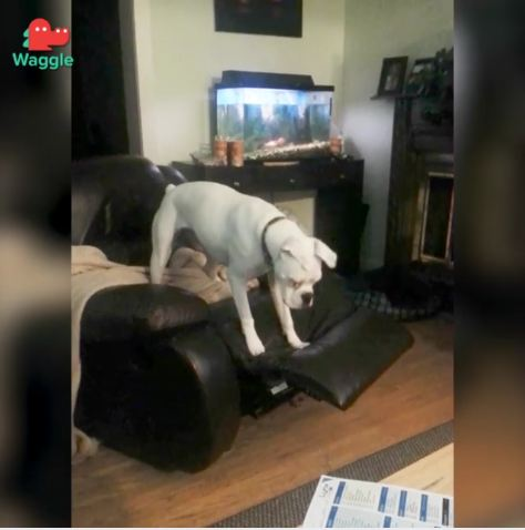 This Boxer Dog Is Going to Defeat the Chair Footrest No Matter What