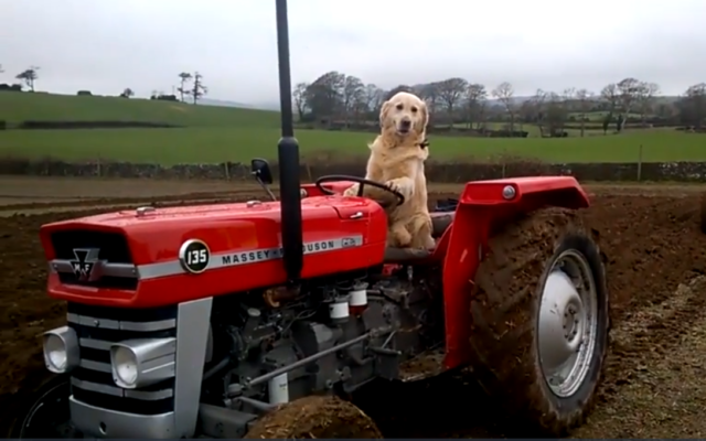 Tractor-Driving Dog Loves Helping With The Farm Chores