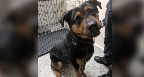 "Dog's Neck Pierced With Hook, Tow Chain in Detroit. They Named Him ""Courage."""