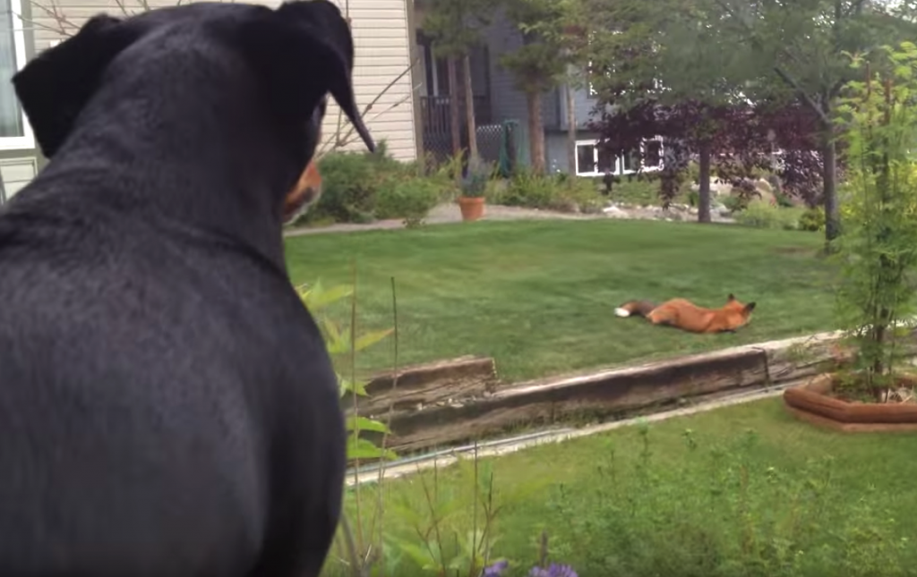 Wild Fox Discovers Toy In The Yard, And The Dog's Not Too Happy About It