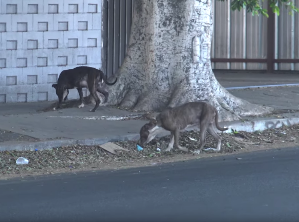 Two Pit Bull Brothers On The Loose Were So Scared, One Peed As He Walked Around