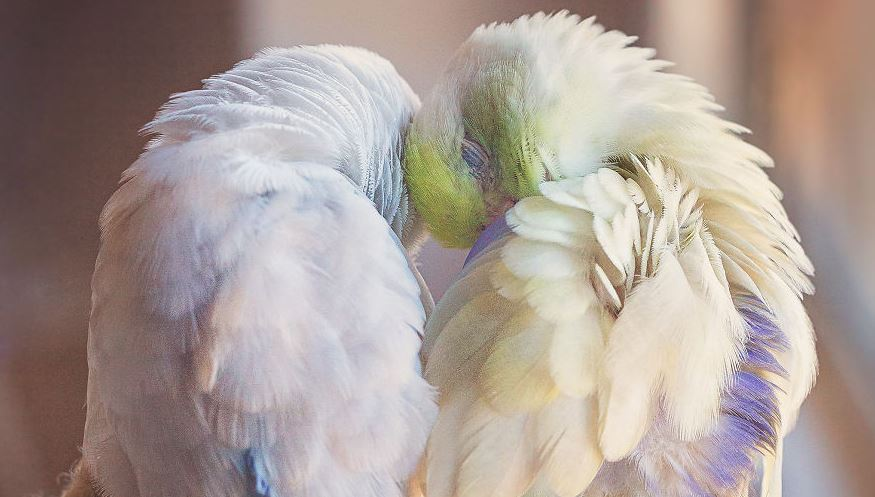 A Storybook Love Between Two Pastel Parrotlets, And The Result Will Melt Your Heart