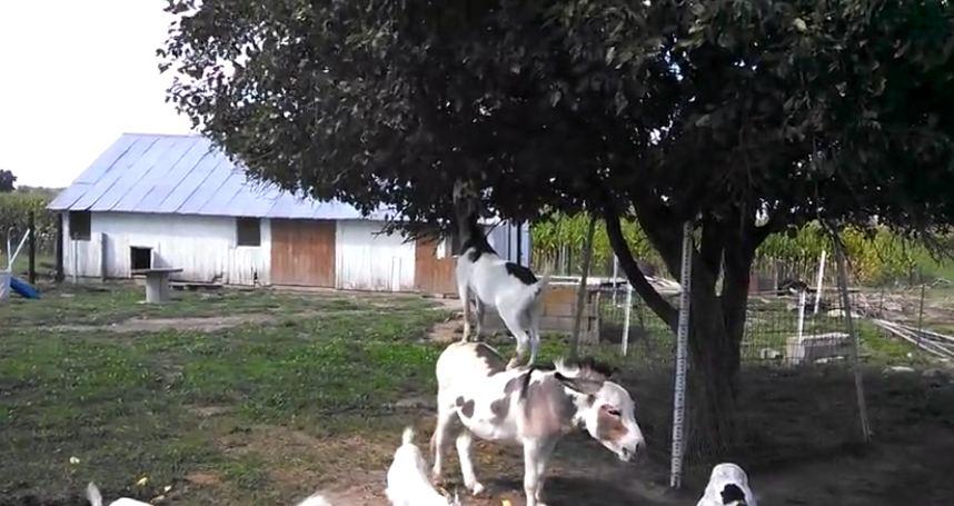 Goat Goes Fruit Hunting While Balancing On Donkey's Back