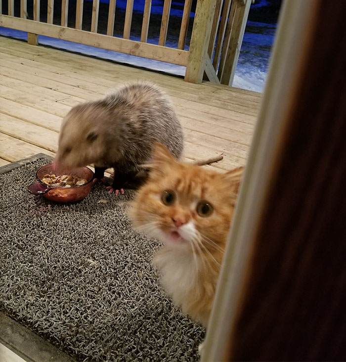 This Cat's Reaction To Possum Stealing Her Food Gets Better And Better With Every Pic