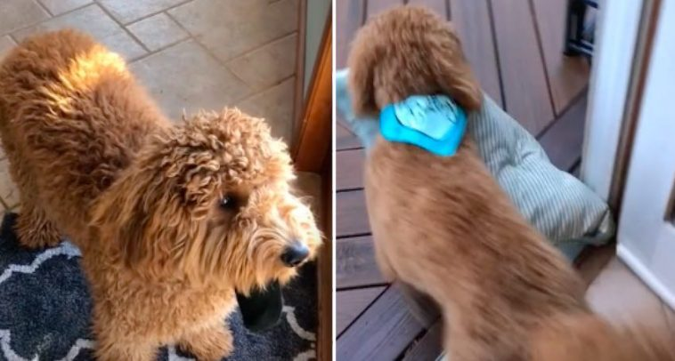 Cute Dog Won't Go Outside to Pee Without Bringing Something With Him