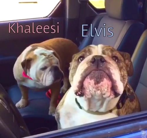 Bulldogs Are Approached In A Car, And The Two Really Let Their Personalities Shine
