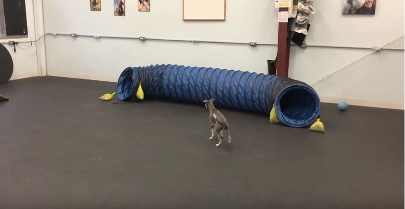 Agility Tunnel Gives Italian Greyhound a Hilarious Case of the Zoomies