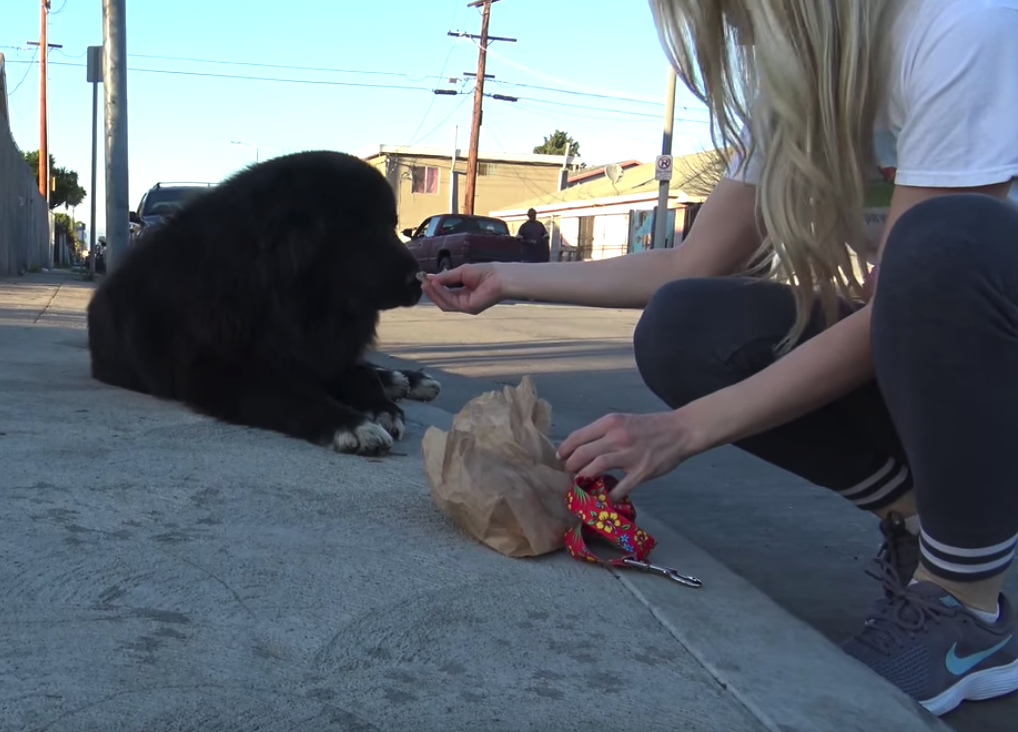 Giant Newfoundland Found On A Street Corner Has His Happiness Restored