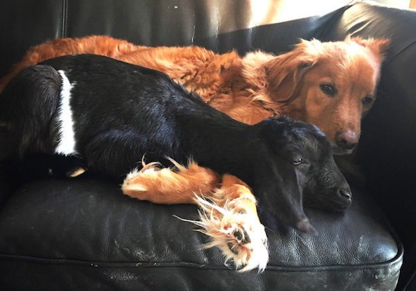 Goat Comforts Dog Who Just Lost His New Best Friend