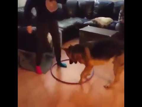 German Shepherd Steals Hula Hoop and Tries His Very Best