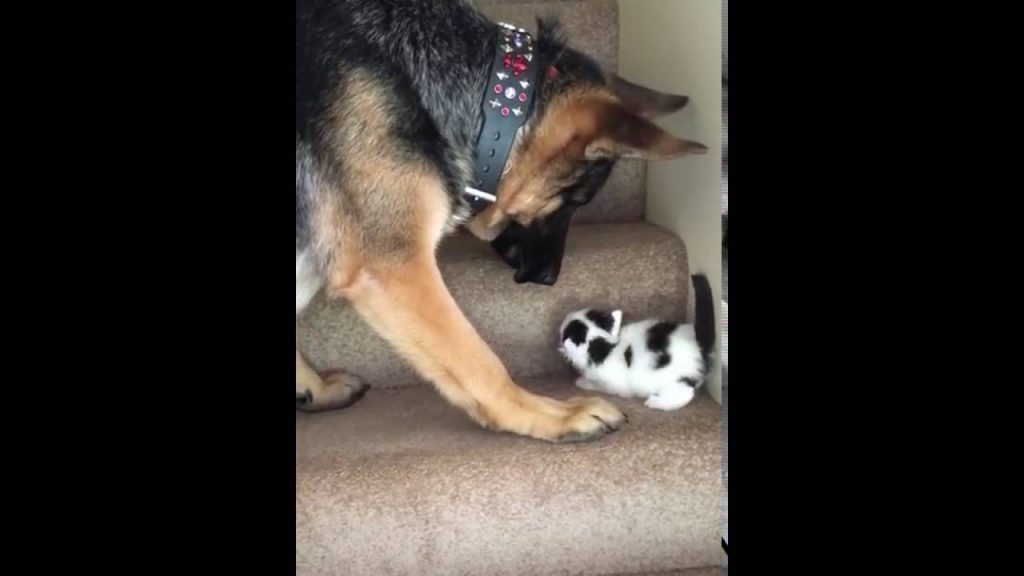 Kitten Can't Get Up The Steps, So The German Shepherd Lends A Helping Paw