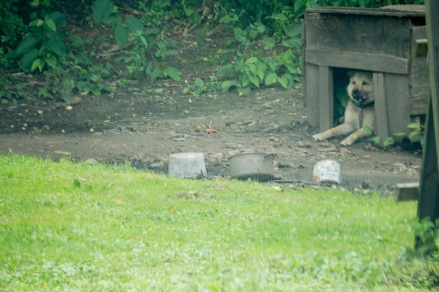 Dog Had Been Chained Up His Entire Life, Finally Runs Free For The First Time