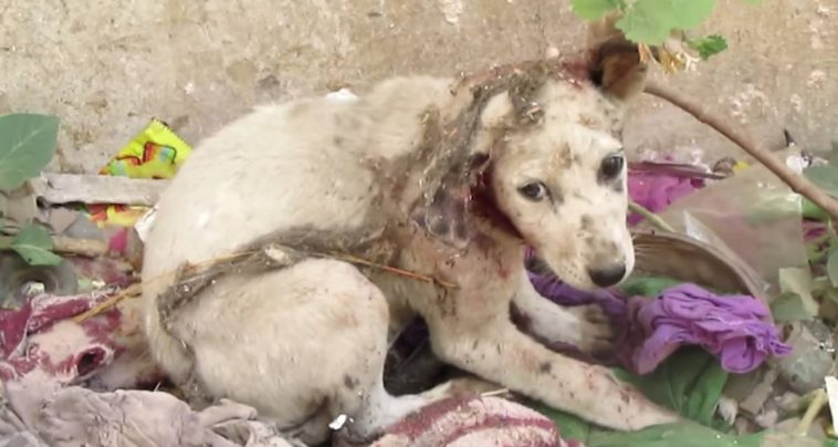 Stray Puppy With His Ear Torn Off Cried for Help Until These Kind Rescuers Arrived