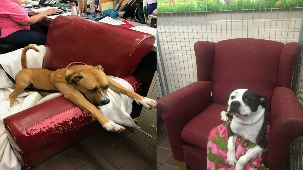 Shelter Gives Dogs Comfy Armchairs To Make Them Feel At Home