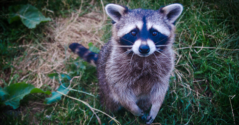 Raccoons Are Actually Much Smarter Than We First Thought
