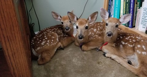 Woman Finds Three Deer Huddled In House After Leaving Back Door Open During A Storm