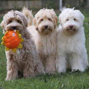 10 Interesting And Fun Facts About Labradoodles