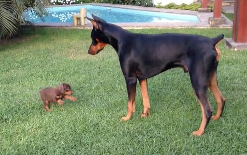 Tiny Puppy Faces Off Against A Giant Doberman, And She Doesn't Hold Back