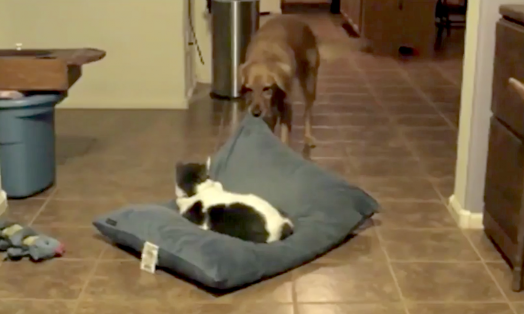 Dogs Notice Cats Sleeping In Their Beds, And How They Handle It Will Have You In Stitches