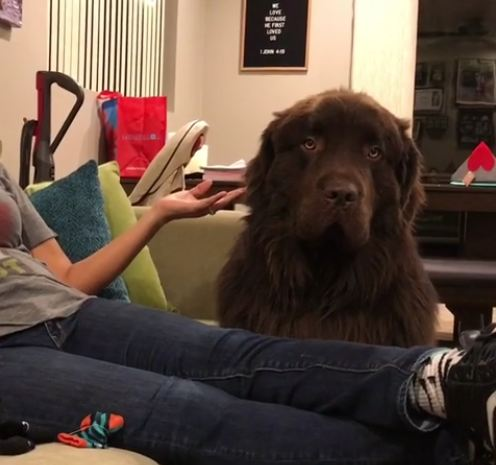 This Newfoundland refuses to accept owner's apology!