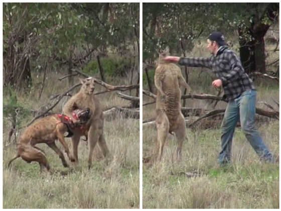 Man punches kangaroo in the face to rescue his dog