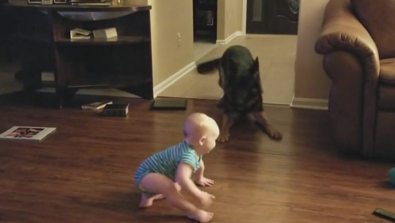 Baby and German Shepherd Play Adorable Game of Chase