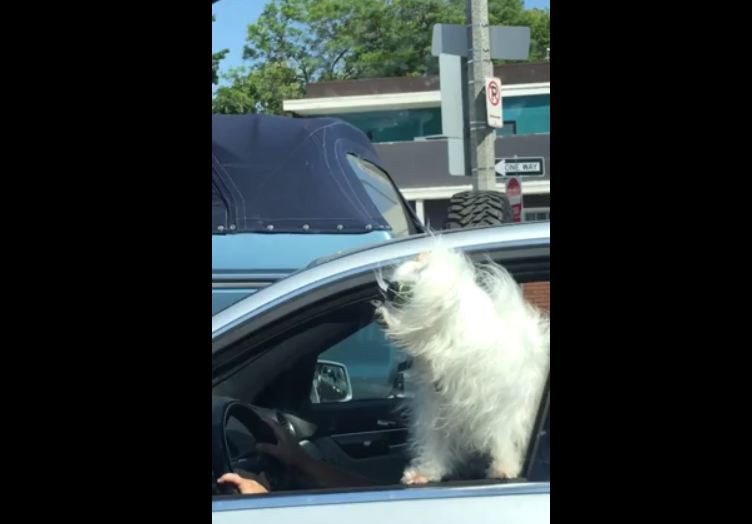 Baby laughs at white dog with sunglasses in silver car