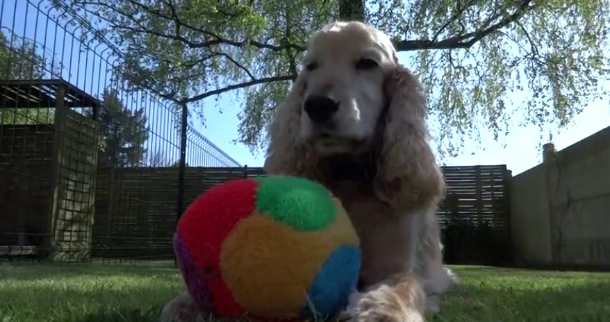 Cocker Spaniel shows off his cool ball skills