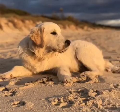 Golden Retriever Plays at the Beach, Relaxes at Home