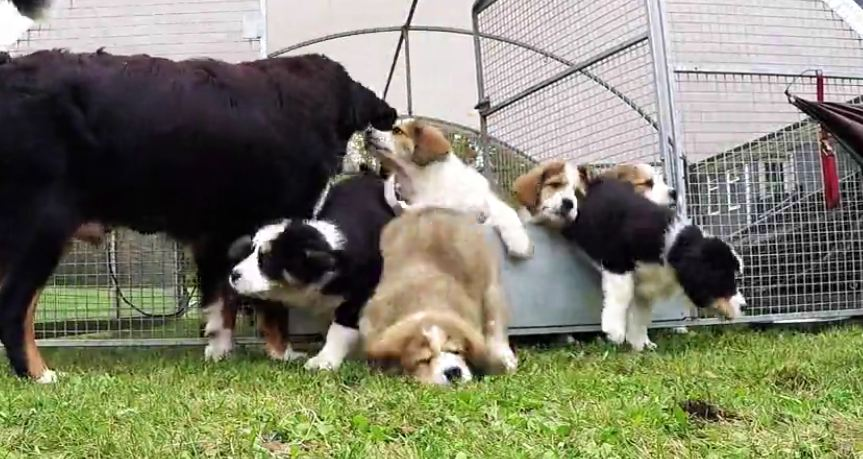 Young love results in 9 adorable fluffy puppies before parents could say 'spay or neuter'