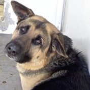Save a life: German shepherd Hank is sweetest dog ever