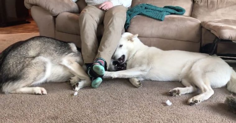 Husky Siblings Adorably Fight For The Place Under Their Human's Legs