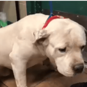 Everyone cried when dog was surrendered, but 'Ice' will suffer the most