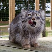 Photos To Show That Manul Cats Are The Most Expressive Cats Out There