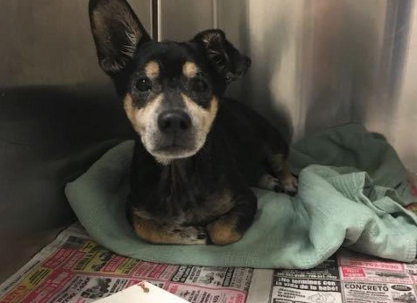 Cody left behind: Senior pup heartbroken at Miami shelter