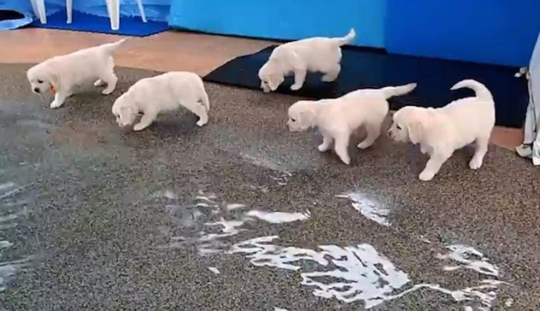 Cute Golden Retriever Puppies Enjoy Their First Swim
