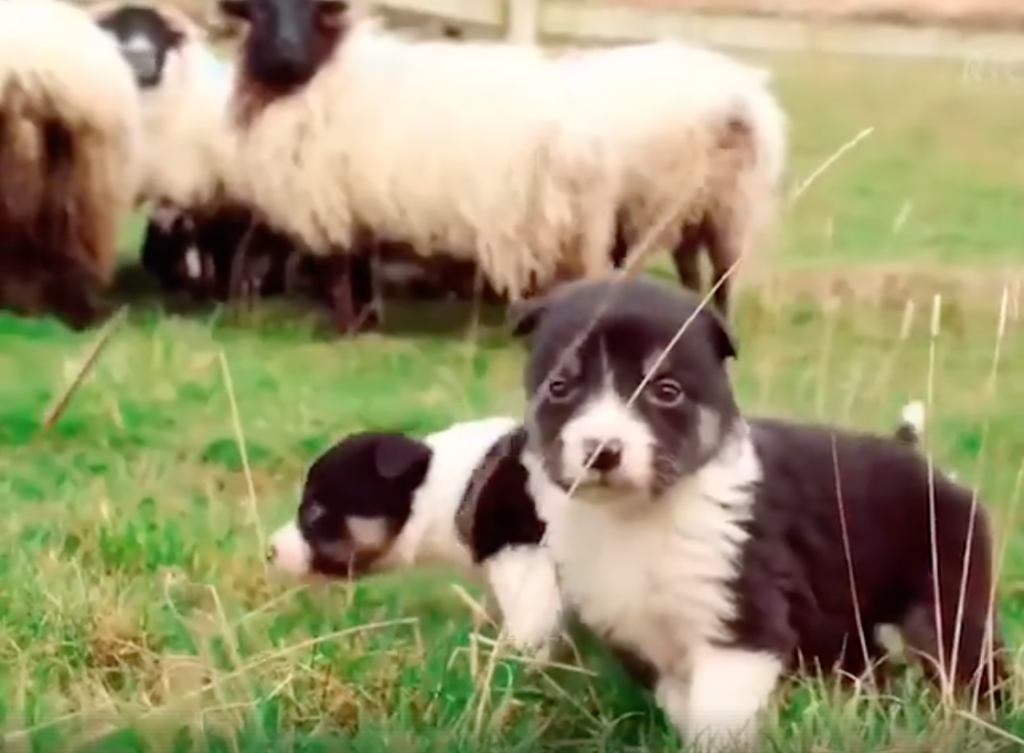 Sheepdog Trainees Come Face To Face With Sheep For The First Time